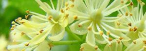 Linden-flowers