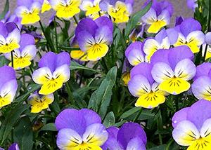 three-color-violet