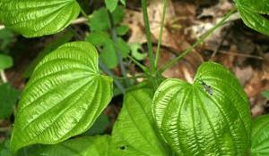 Dioscorea-vlosa