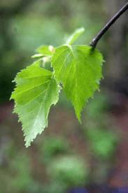 Gemmae-Betulae
