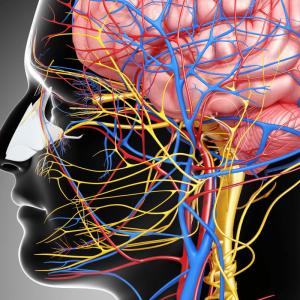 Нервная система, мозг